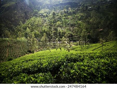 Tea plantation landscape in Sri Lanka - stock photo