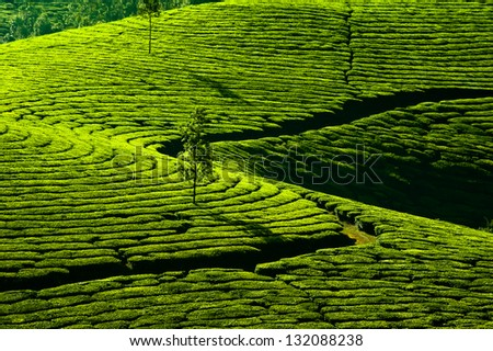 Tea plantation landscape. Munnar, Kerala, India. Nature background - stock photo