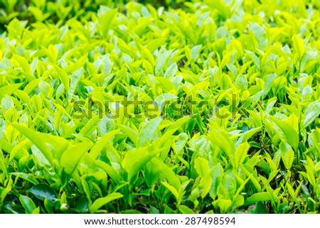 tea plantation on swallow depth of field - stock photo