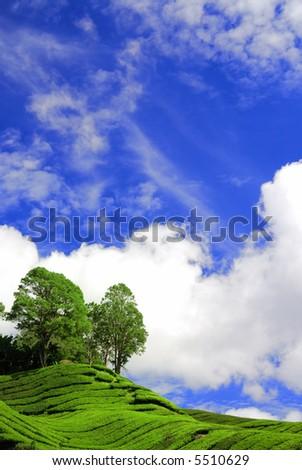 Tea Plantation Under the Blue Sky in Cameron Highland Malaysia - stock photo