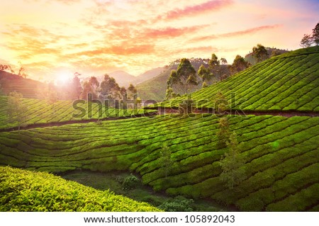Tea plantation valley at sunset dramatic orange sky in Munnar, Kerala, India