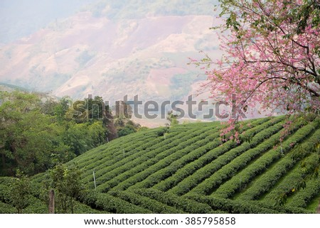 Tea plantation with cherry blossoms at North Thailand - stock photo