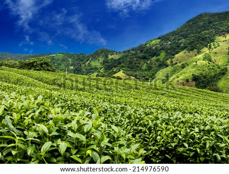 Tea plantation with cloud and blue sky - stock photo