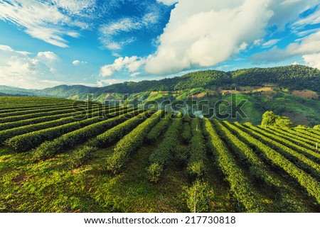 Tea Plantation with cross process
