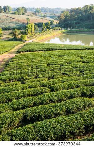 Tea Plantation with pond in Thai, Thailand - stock photo