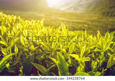 Tea plantation with tea leaves in sunshine. Nature background - stock photo