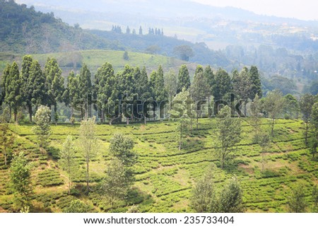 Tea plantation with trees in Indonesia - stock photo