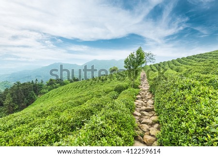 tea plantations against a blue sky in spring - stock photo
