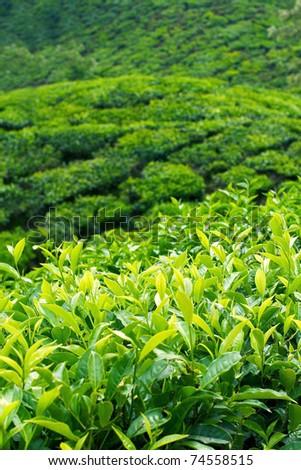Tea Plantations at Munnar, India. Vertical image. - stock photo