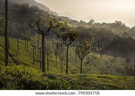 Tea plantations in Coonoor, India