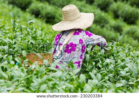 Tea plantations in Thailand.  - stock photo