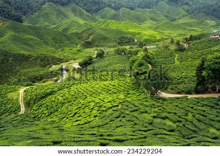 tea plantations landscape - stock photo