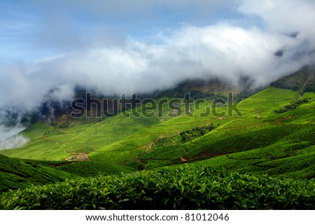 Tea plantations. Munnar, Kerala, India /Tea estate/tea estate - stock photo