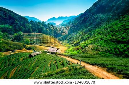 Tea plantations on angkhang mountain, chiang mai, thailand - stock photo