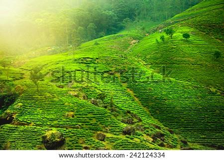 Tea Plantations , Sri Lanka  - stock photo