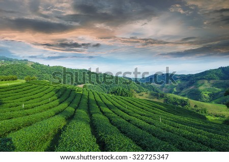 Tea Plantations. Thailand, Mae Salong.