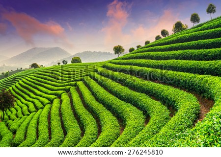 Tea Plantations under sky during sunset - stock photo