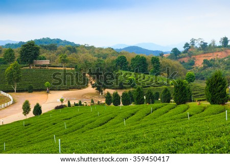 Tea plantations with blue sky background