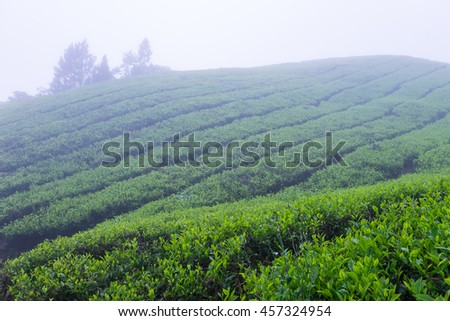 Tea plantations with fog nearby Cameron Highlands, Malaysia. - stock photo
