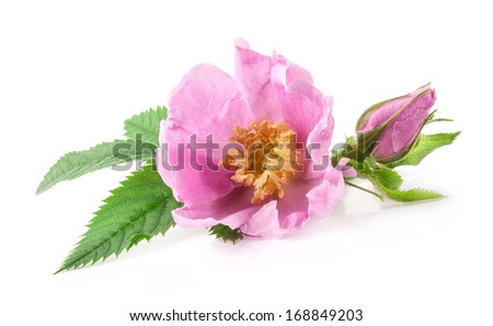 Tea rose flowers isolated on white background
