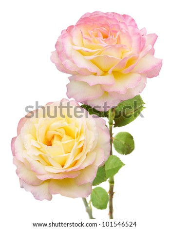Tea roses bouquet isolated on white background - stock photo