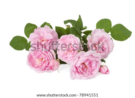 Tea roses bunch isolated on white - stock photo
