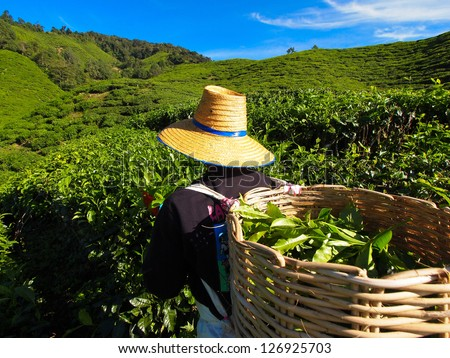Tea Worker picking tea leaves in a tea plantation Cameron Highlands Malaysia