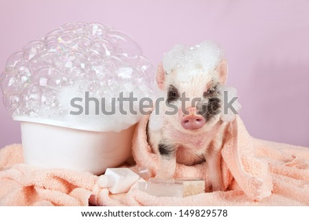 Teacup mini pocket pig with foam bath and towels on pink background - stock photo