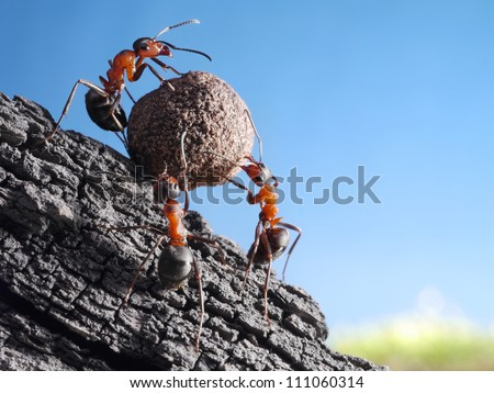 team of ants rolls stone uphill, teamwork concept - stock photo