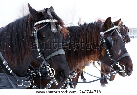 Team of Canadian horses ready for winter obstacle cone driving  - stock photo