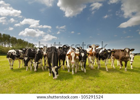 Team of Dutch cows - stock photo
