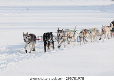 Team of enthusiastic sled dogs pulling hard to win the Yukon Quest sledding race - stock photo