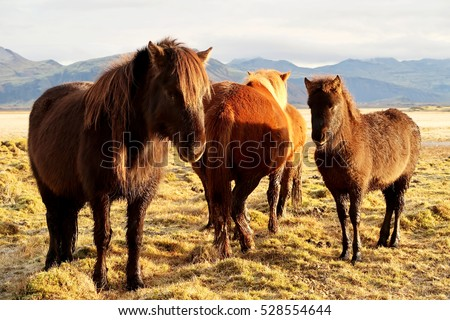 Team of Icelandic Horses