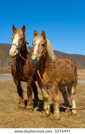 Team of Work Horses Standing Together - stock photo
