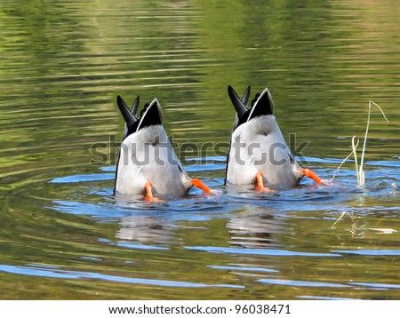 Team Work, ducks in cooperation. - stock photo