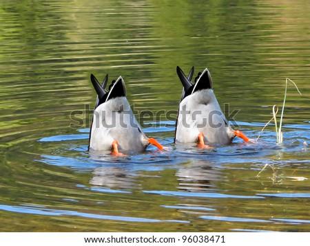 Team Work, ducks in cooperation. - stock photo