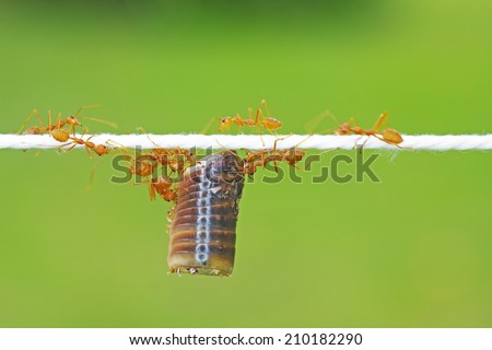 Teamwork of weaver ants carrying the piece of millipede exoskeleton on the thread  - stock photo