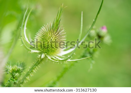teasel bud without flowers in nature - stock photo