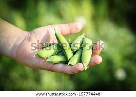 teenager man hand holding fresh green peas - stock photo