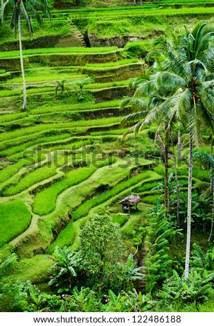 Tegallalang, Bali. The most dramatic and beautiful rice terraces can be found in Tegallalang, Bali. These fields are hundreds of years old and are a model of irrigation by gravity. - stock photo