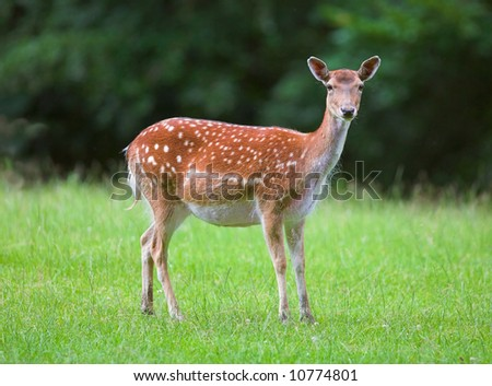 Telephoto of white-tail deer - stock photo