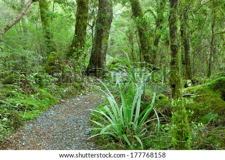 Temperate rain forest, Fiordland National Park, South Island, New Zealand.Track - Lake Gunn Nature Walk. Focus on foreground - stock photo