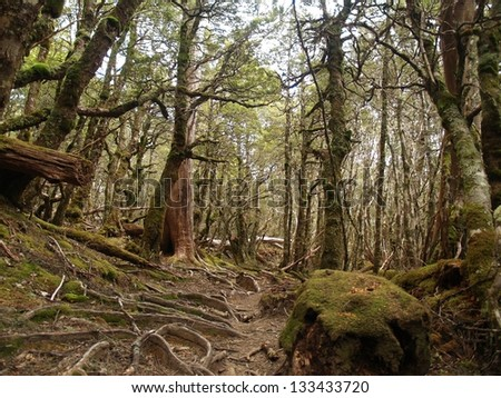 Temperate rain forest in Cradle Mountain - Lake St Clair National Park - stock photo
