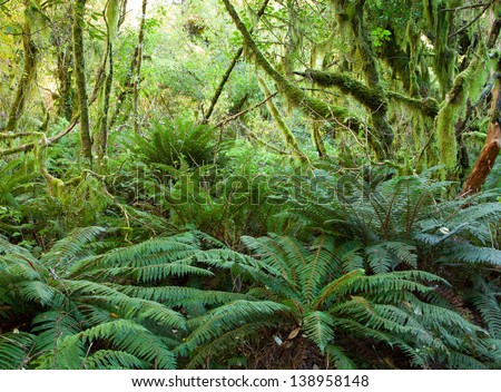 Temperate rain forest with  Fern , Fiordland National Park, South Island , New Zealand - stock photo