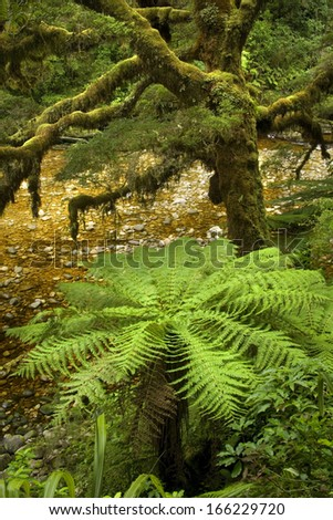 Temperate rainforest, with many tree ferns building a dense undergrowth for other big, native trees. Catlins, Southland, New Zealand