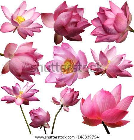 template of beautiful lotus flower isolated on white background. - stock photo