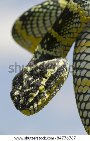 Temple pit viper: snake of the Temple of the Azure Cloud Coiled Ready to Strike - stock photo