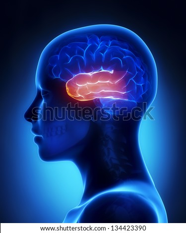 Temporal lobe - female brain anatomy lateral view - stock photo