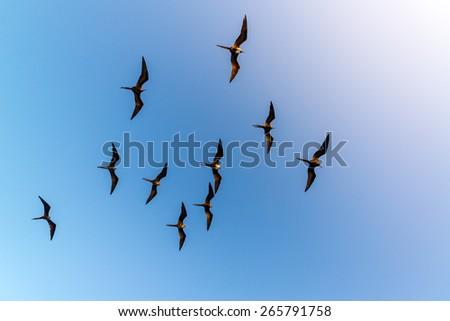 Ten frigatebirds high in the air in the Galapagos Islands in Ecuador - stock photo