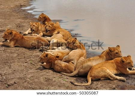 Ten lion cubs sleeping away in the afternoon. Serengeti National Park, Tanzania. - stock photo